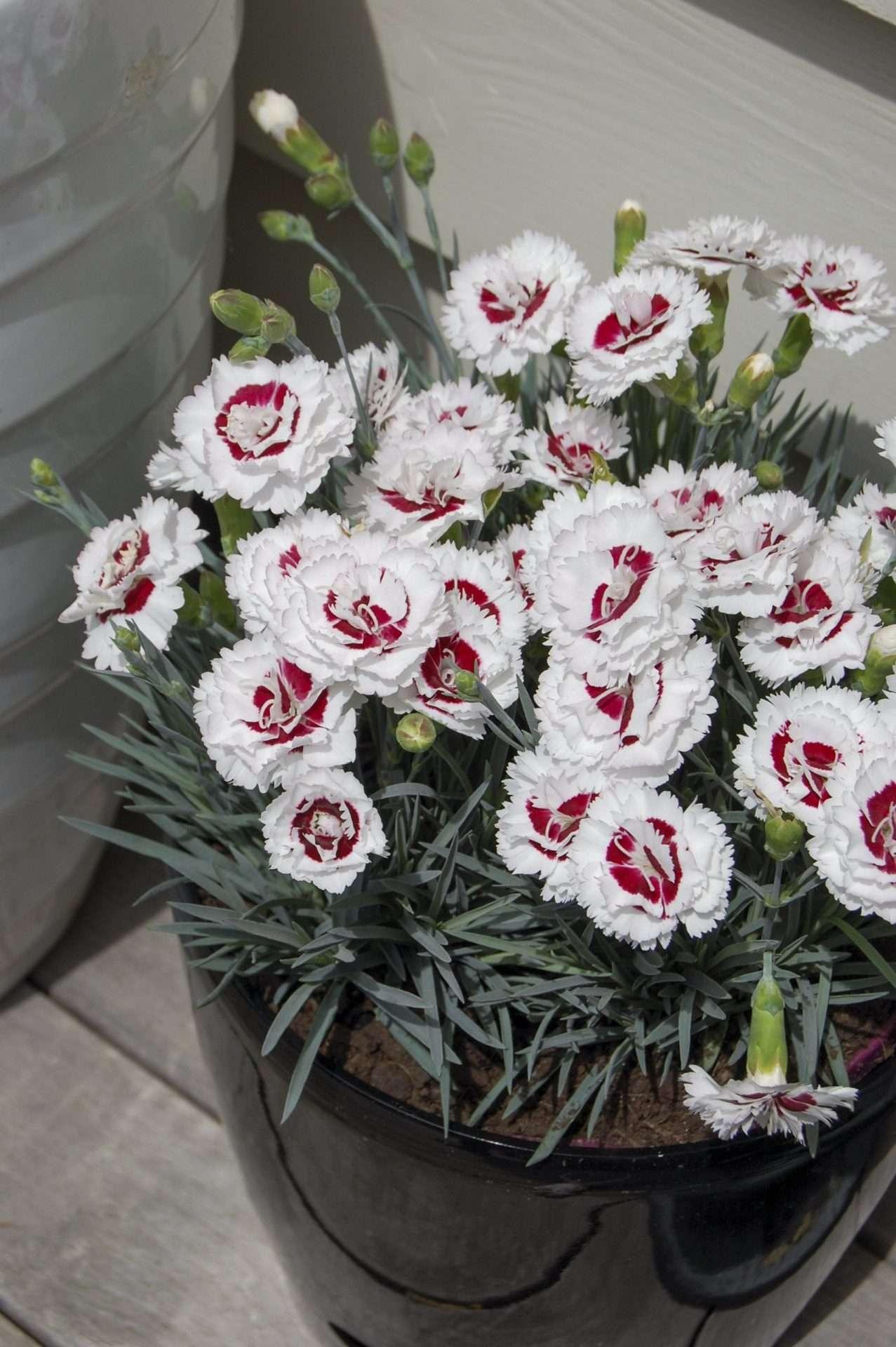 Dianthus - Coconut Sundae