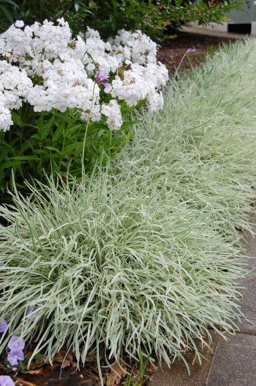 Tulbaghia Violacea - Silver Lace