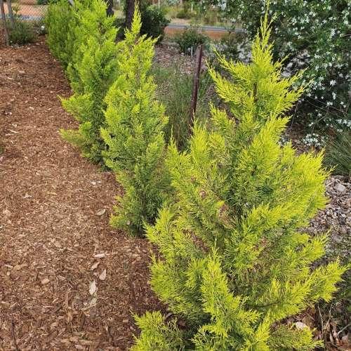 Conifer - Cupressus Lemon Scent