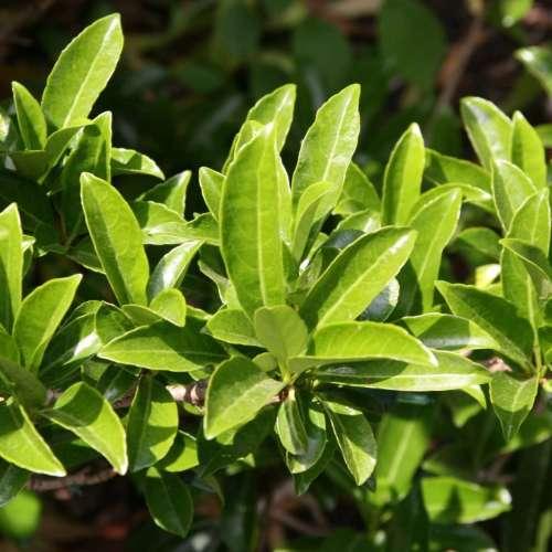 Viburnum Odoratissimum - Sweet Viburnum - SALE - 2 Left