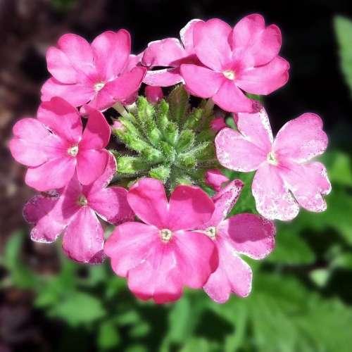 Verbena - Almira Pink