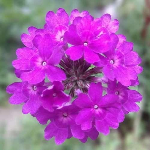 Verbena - Cyrano Purple