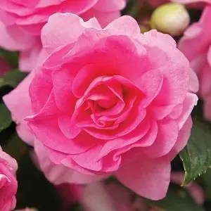 Impatiens - Double Bonita Pink