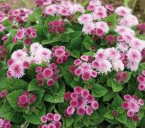 Ageratum - Ariella Rose - Foss Flower