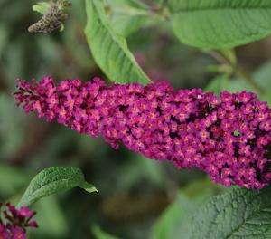 Buddleja - CranRazz - Butterfly Bush