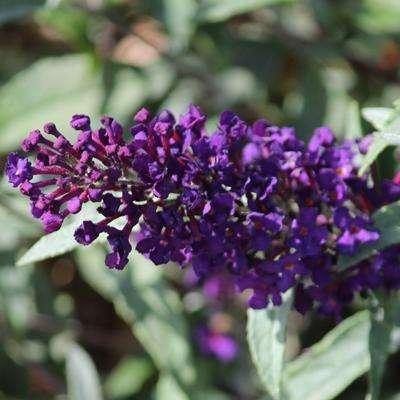 Buddleja - Buzz Midnight - Butterfly Bush