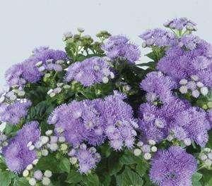 Ageratum - Ariella Blue - Foss Flower