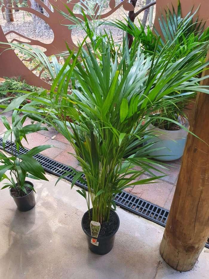 Golden Cane Palm