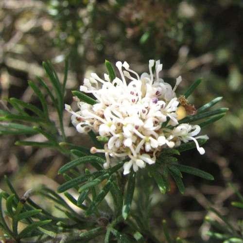 Grevillea crithmifolia prostrate Perth