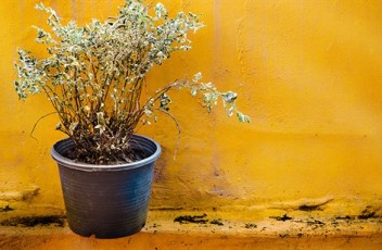 How-To-Revive-a-Dying-plant