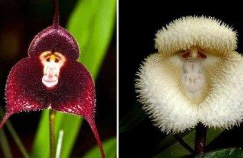 monkey-lotus