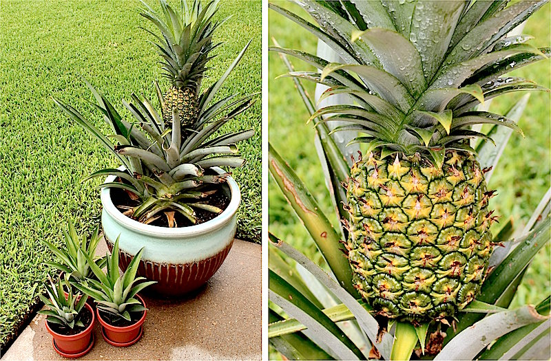 How to grow a pineapple in a pot the plant guide for How do i plant a pineapple top