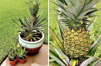 pineapple-6