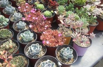 a-fleshy-plant-742067_1280