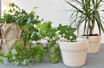 indoor-ivy-houseplants
