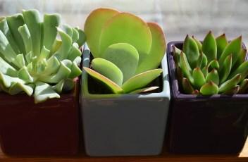 succulent-trio-2026503_1280