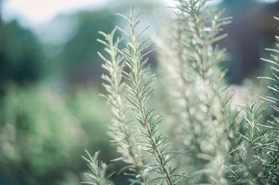 Plants Create Positive Energy Rosemary