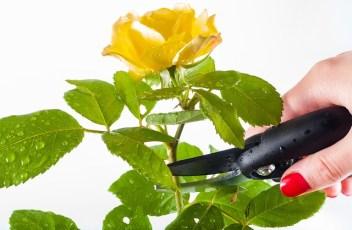 rose-1744950_640