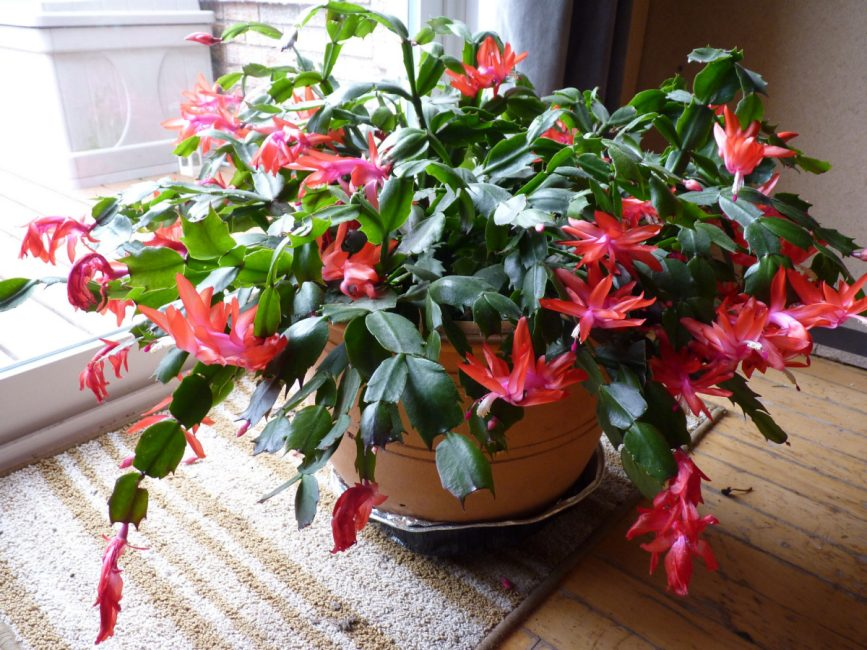 some portion of the epiphytic cacti family christmas cactus is the most generally known name for them they are a striking and exotic sort of houseplant - Christmas Catus
