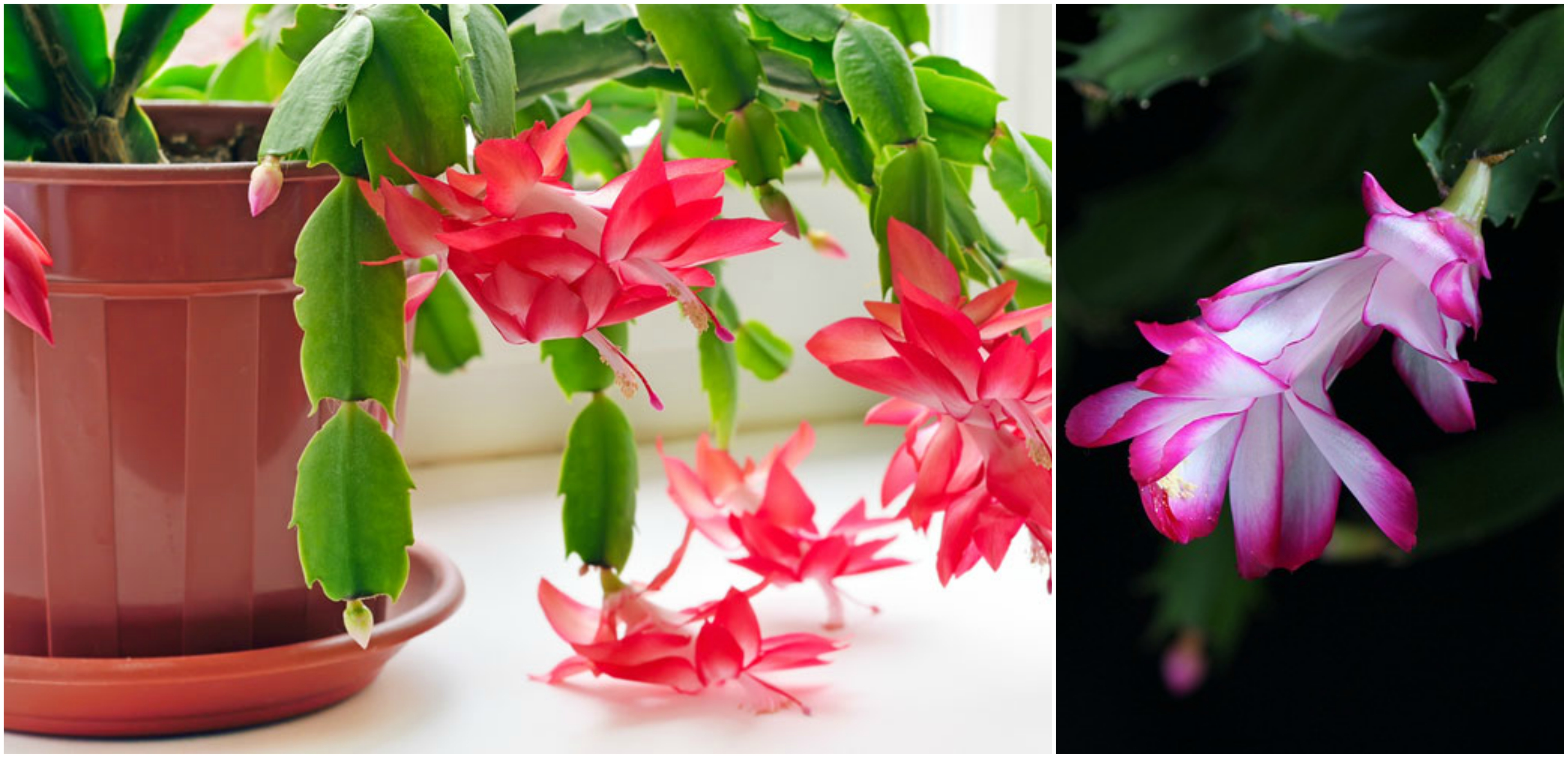Christmas Cactus Blooming.How To Grow And Care For Christmas Cactus The Plant Guide