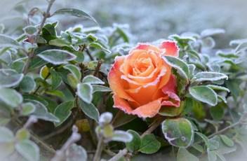 rose-490947_640