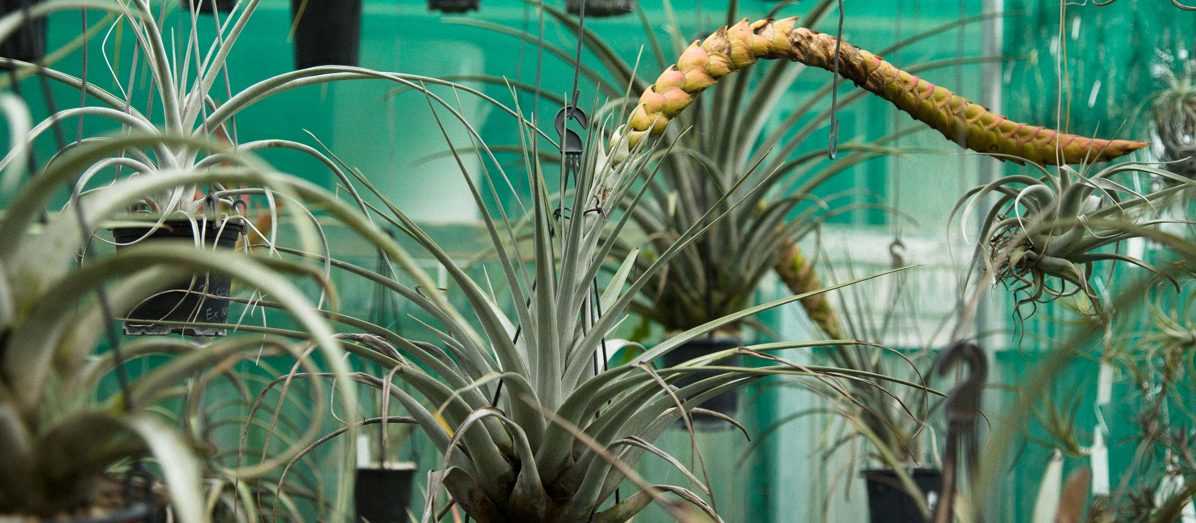 How To Grow Air Plants Tillandsia Spp The Planthunter