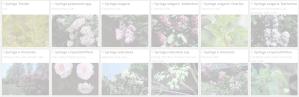 Syringa | Copyright 2016 The Plantium Company. | www.theplantium.com