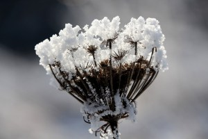 winter_seed_head
