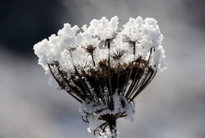 winter_seed_head