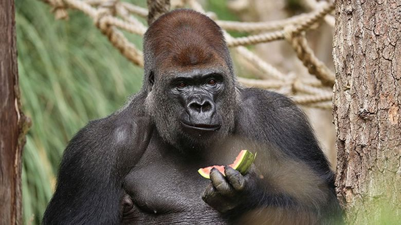 Gorilla trapped with other animals in cages at London Zoo