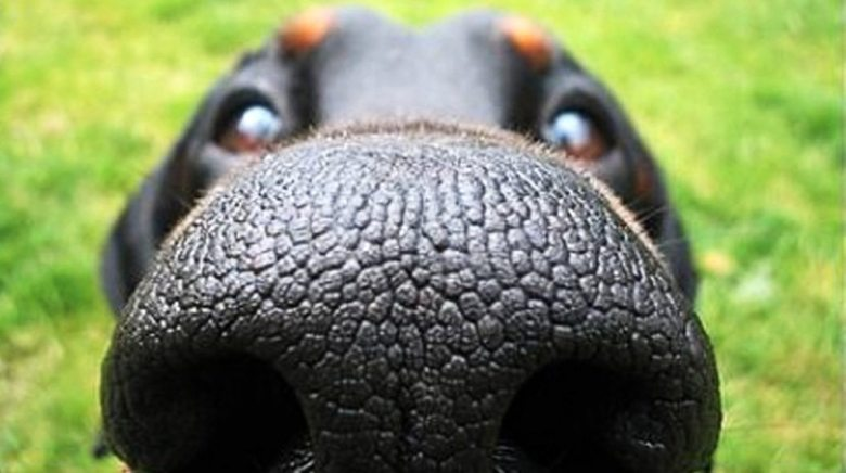 Dogs Nose - shocked by humans sense of smell