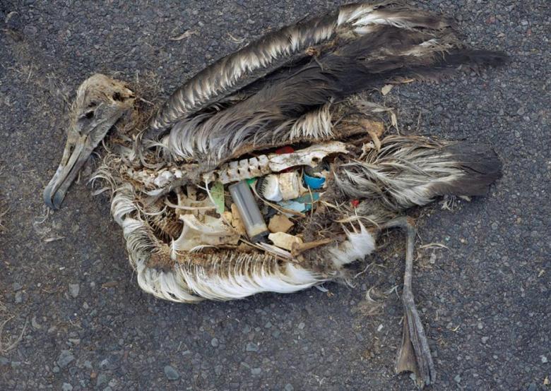 Albatross Plastic