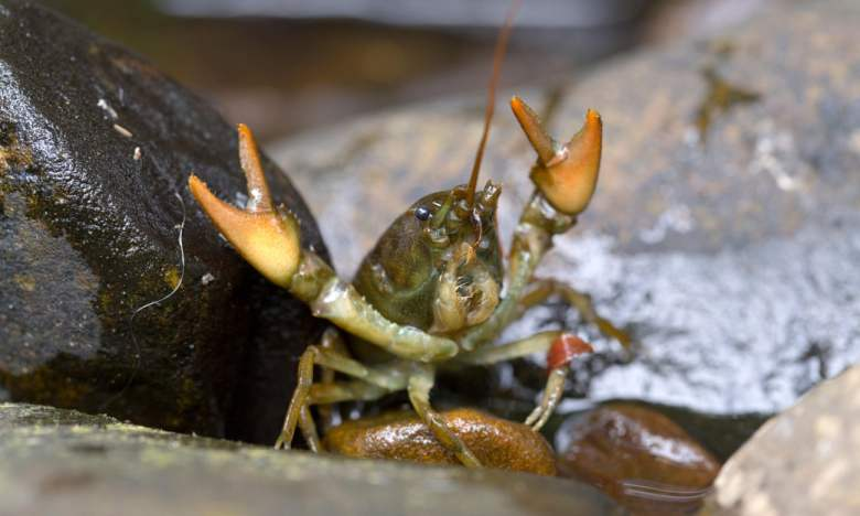 White Clawed Crayfish