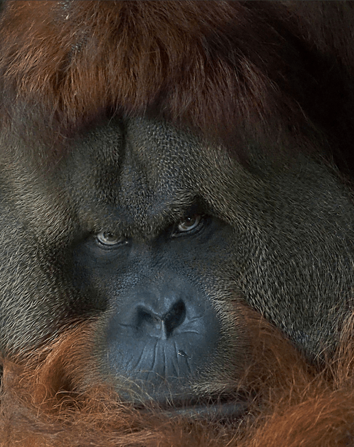 Critically endangered orangutan