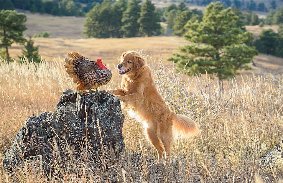 Turkey & Dog