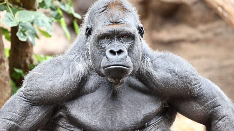 Gavin the Gorilla