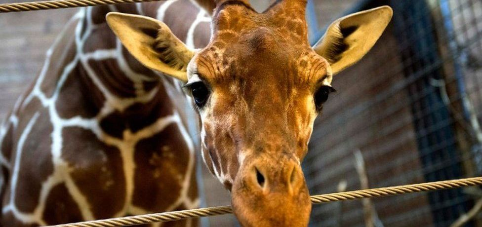 Giraffes Returning to Edinburgh Zoo
