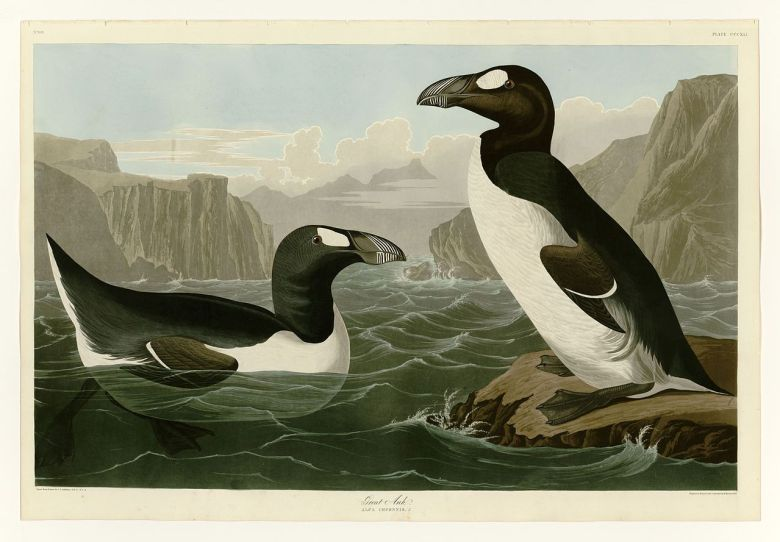 What Happened to the Great Auk?