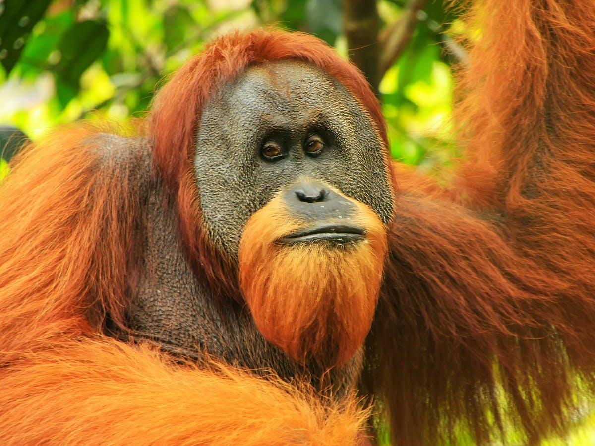 Orangutans Say