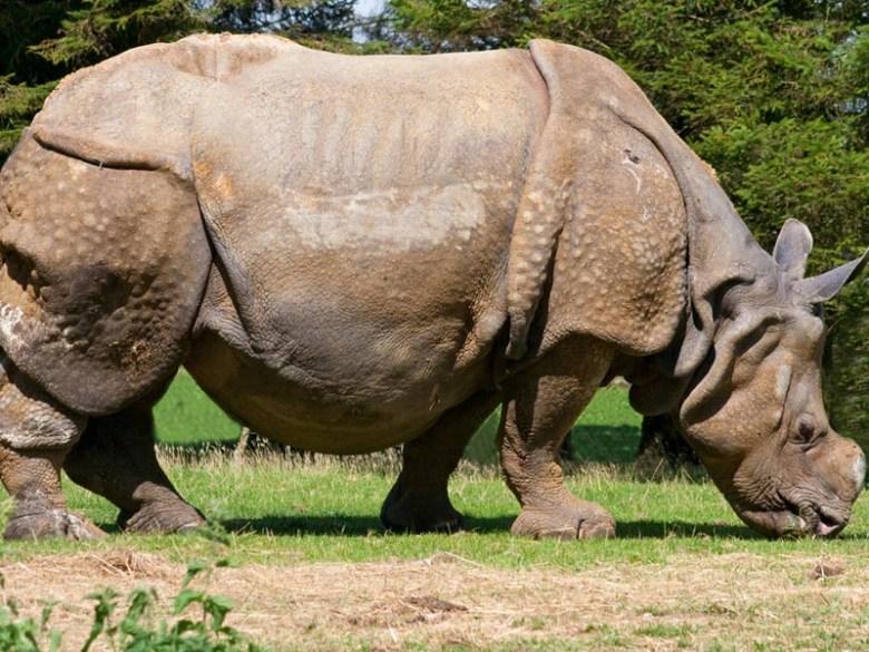 Indian Rhino's