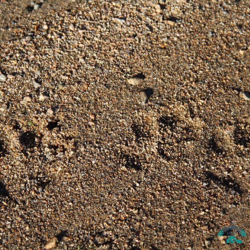animal tracks: identify and make a cast