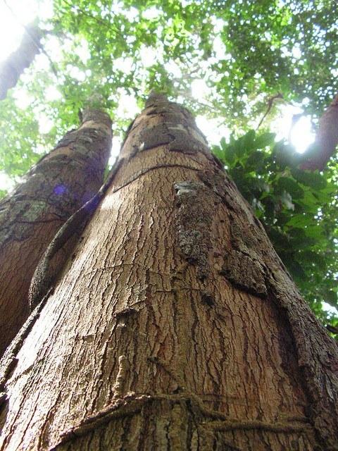 Virola Plywood 🌲 Plywood Guide Theplywood Com