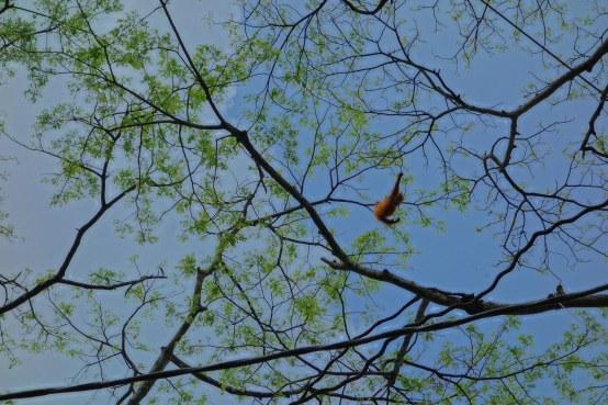 A baby Orangutan swings playfully from tree to tree