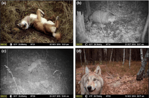 Photographs of animals visiting the remote cameras in the CEZ (Photo Credit: Sarah C Webster, Michael E Byrne, Stacey L Lance, Cara N Love, Thomas G Hinton, Dmitry Shamovich, James C Beasley.Where the wild things are: influence of radiation on the distribution of four mammalian species within the Chernobyl Exclusion Zone.Frontiers in Ecology and the Environment, 2016; DOI:10.1002/fee.1227).