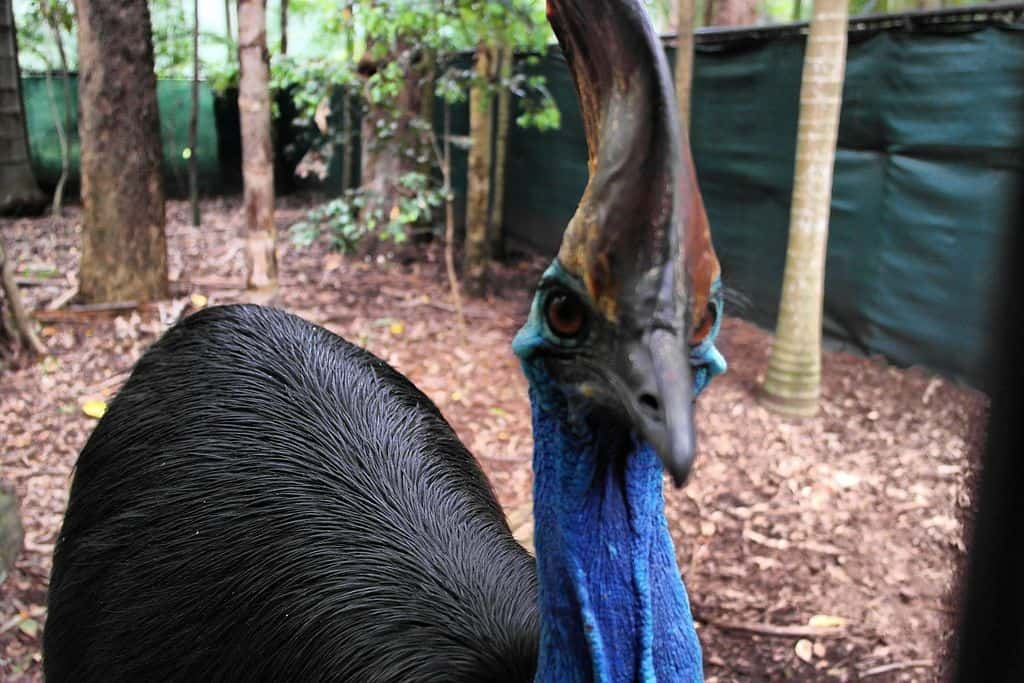 The Curious Case of the Cassowary Casque