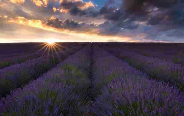 (Photo courtesy of Cotswold Lavender)