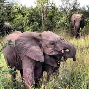 Mama elephant says it