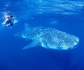Whale shark, anyone? You
