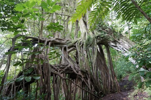 banyan-tree-makiki-valley hike