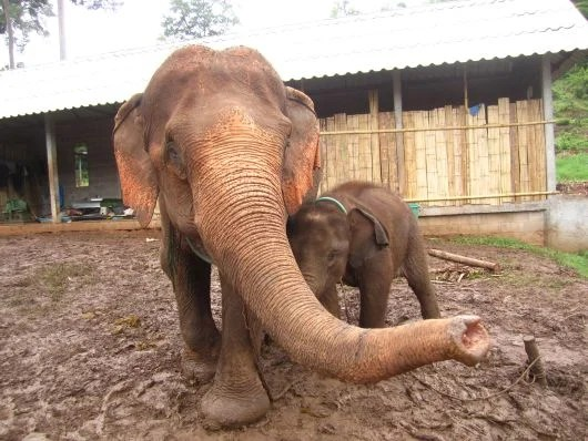 """A rescued baby elephant with her """"stepmom"""" at Ran-tong Elephant Rescue"""